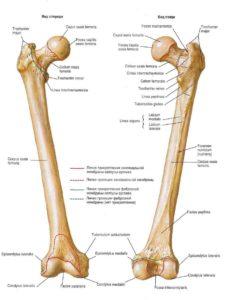 анатомия бедренной кости