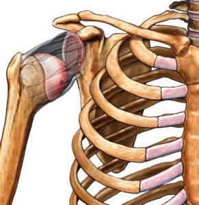 скелет строение плеча