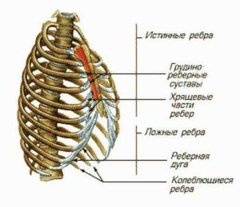 Анатомическое строение грудной клетки