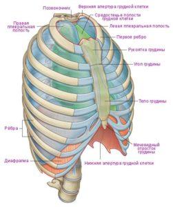 строение грудной клетки человека