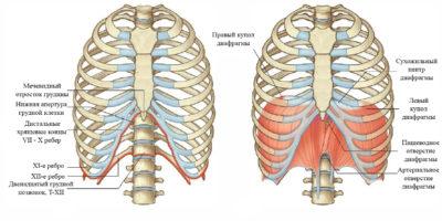 Схема строения грудной клетки