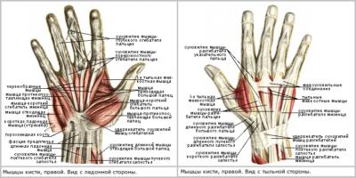 связки и сухожилия рук