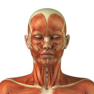 Мышцы и сухожилия головы