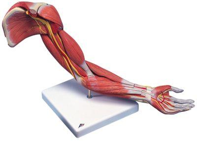 Строение мускулатуры и связок руки