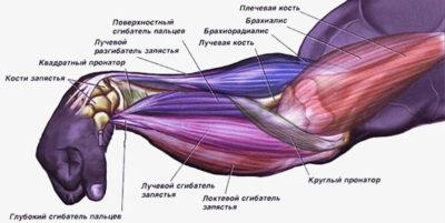 Мышци предплечья