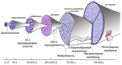 Строение сухожилия