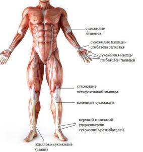 сухожилия человека