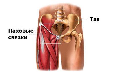 анатомия паховой области