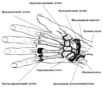 Суставы и связки левой кисти