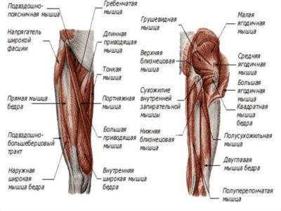 группы мышц тазобедренного сустава