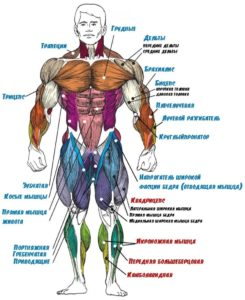 функции мышц