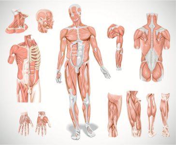 Опорно-двигательный аппарат: мышцы и связки