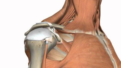 анатомия связочного аппарата плечевого сустава