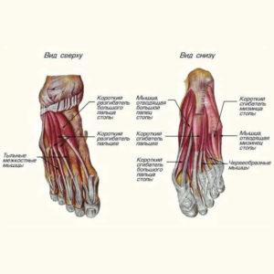 Изображение - Суставы и связки стопы sidas2-300x300