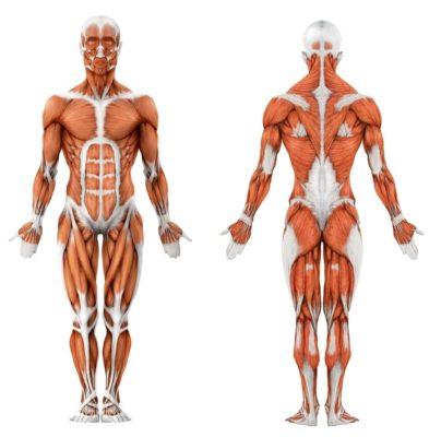 сухожилия и связки