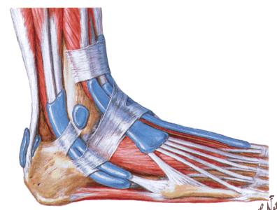 мышцы и связки голеностопа