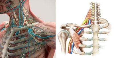 Нервная и кровеносная система