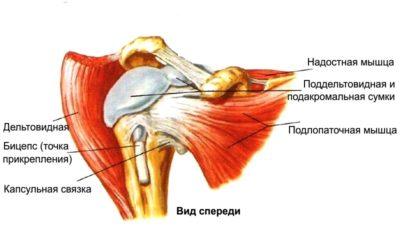 Связки и мышцы плеча