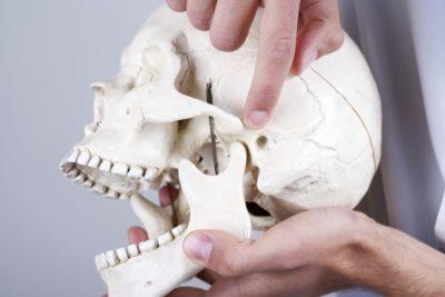 макет строения челюсти