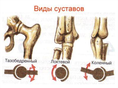 разновидности суставов человека