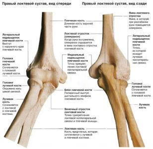 Изображение - Связки локтевого сустава анатомия anatomiche3wf53w43en4g5wq34g534-308x300